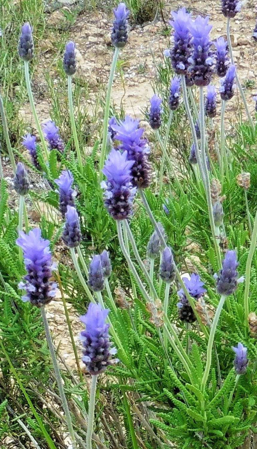 TOOTHED LAVENDER