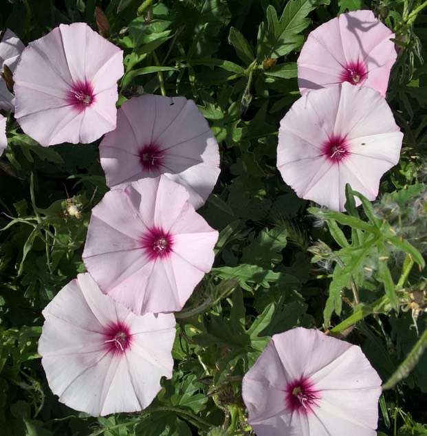 MALLOW-LEAVED BINDWEED